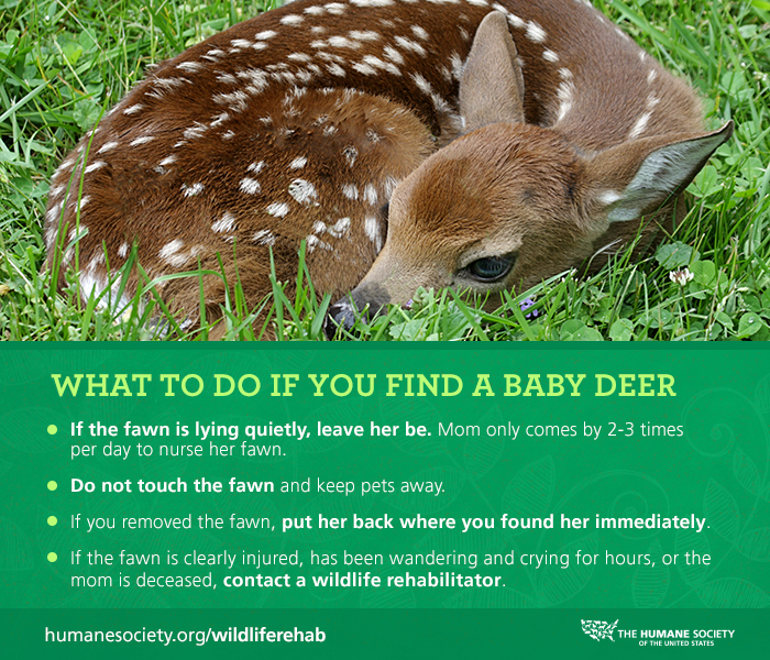 Flowchart if you found a baby Fawn