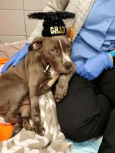 Photo of Brees, a 14-week-old pit bull puppy