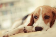 Chemotherapy for Pets