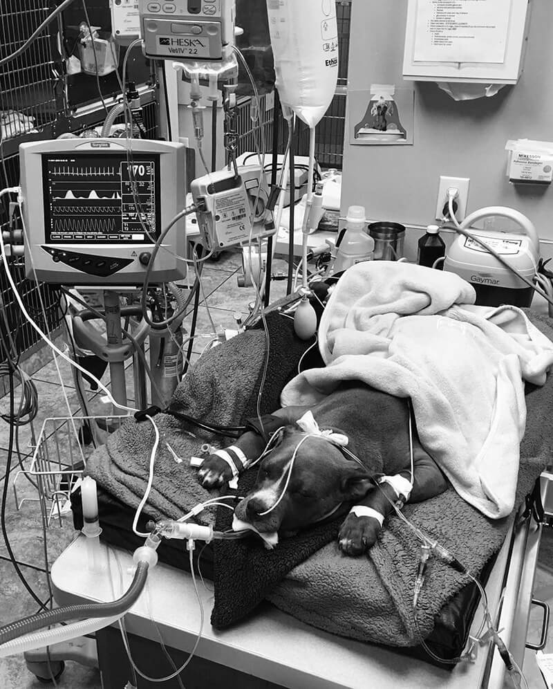 Dog on ventilator black and white